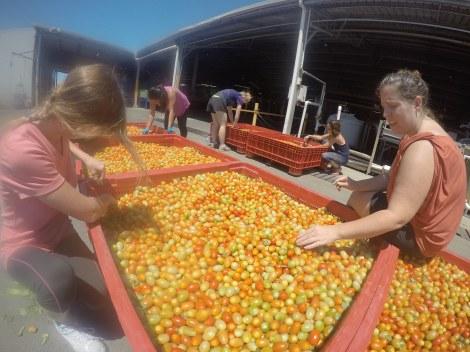 De temps en temps, les filles trié les tomates cerises dehors. C'est bon pour le moral d'être au soleil ! ^^