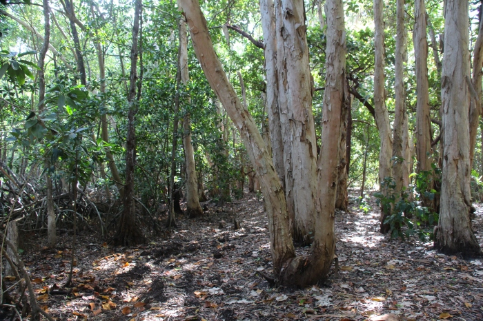 Forêt mangrove