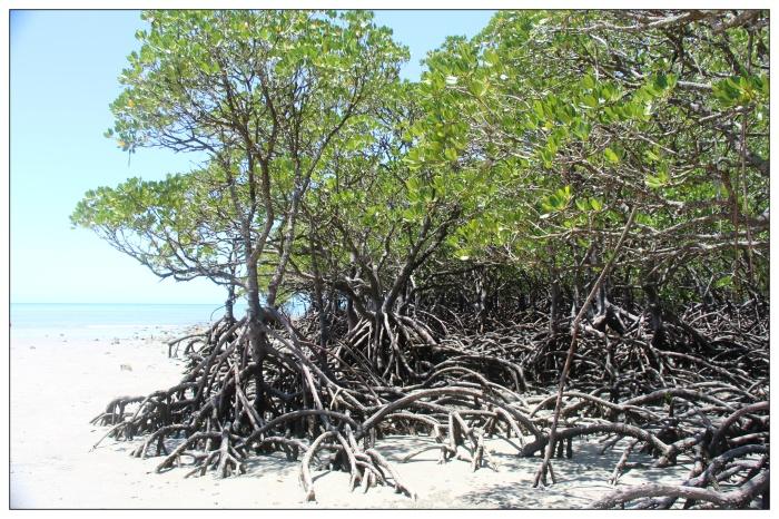 Mangrove - VoyageDesFruits