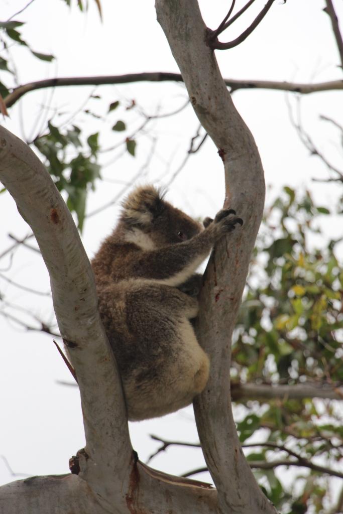 Wild Koala - VoyageDesFruits