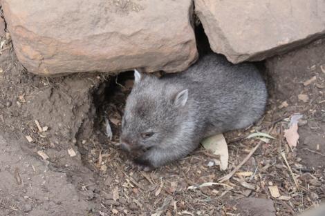 Bébé Wombat - VoyageDesFruits (3)