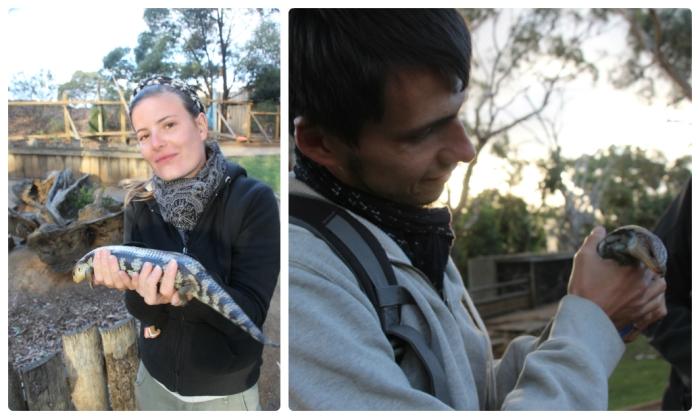 Le Blue Tongue Lizard, un lézard qui ressemble à un serpent !