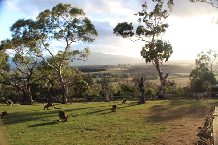 Coucher de soleil avec les kangourous