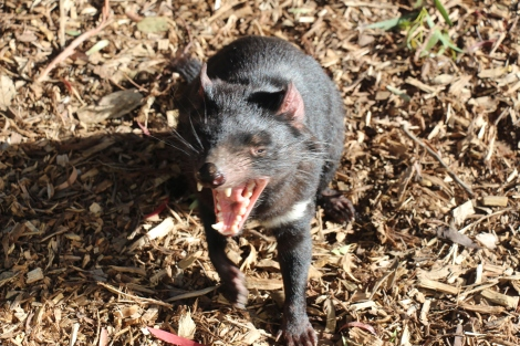 Diable de Tasmanie - VoyageDesFruits (2)
