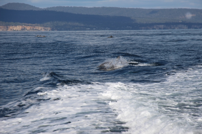 Bon…le temps qu'on sorte l'appareil c'était presque trop tard mais quand on voit un gang de 7 dauphins, on a qu'une envie : ne pas baisser le regard et continuer d'observer !