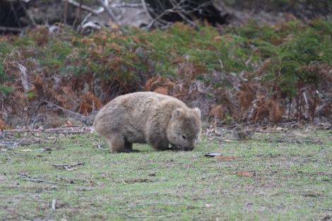 Wombat - VoyageDesFruits