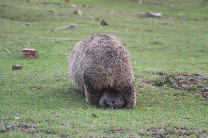 Wombat et son bébé - VoyageDesFruits