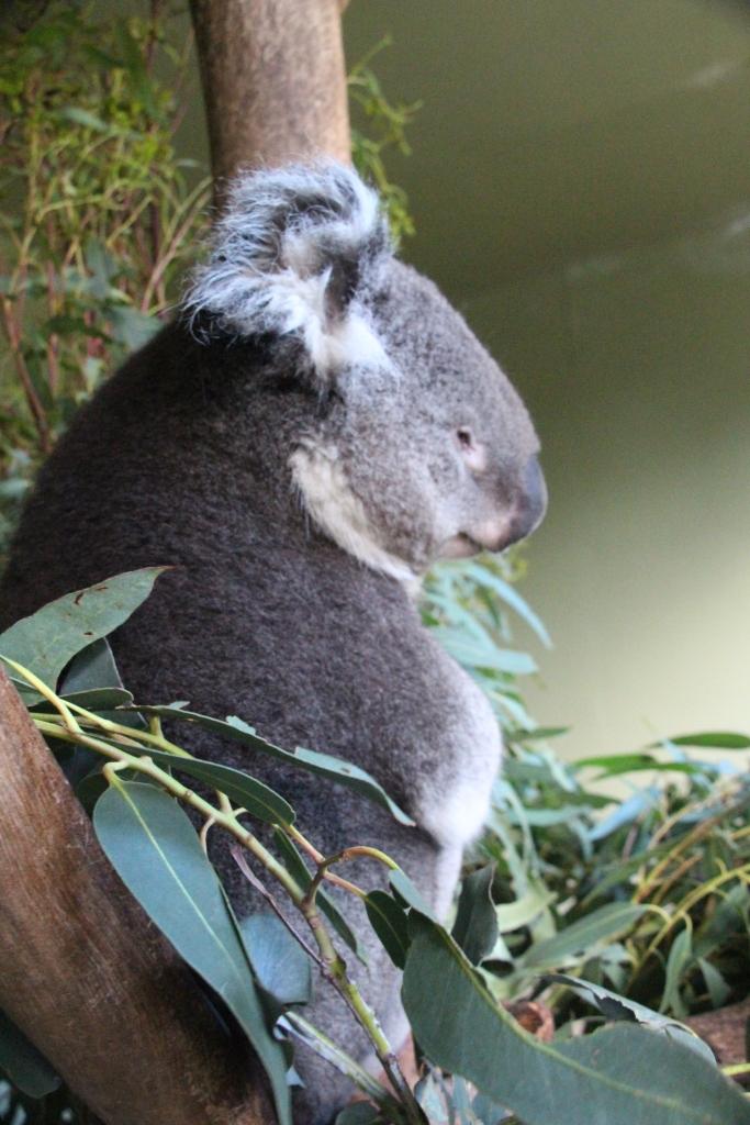 Koala - VoyageDesFruits