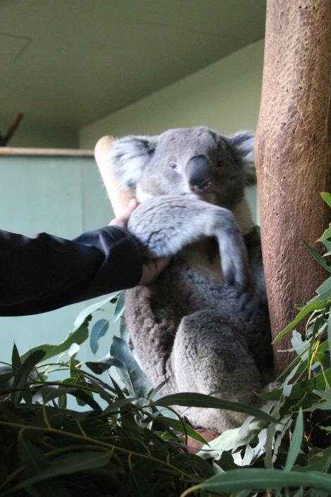 Caresser un koala, c'est toujours aussi doux !