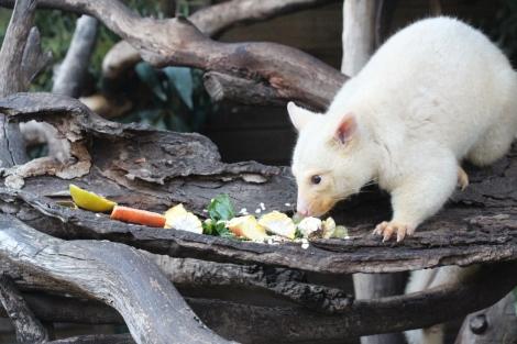 White Possum - VoyageDesFruits (1)