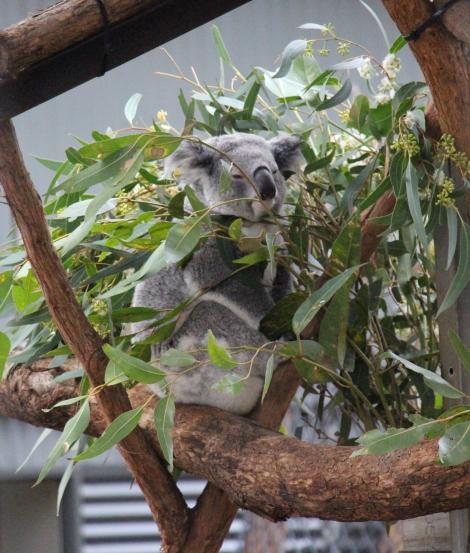 koala-voyagedesfruits